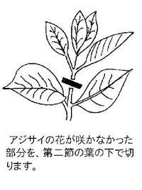 Ajisaisashime1_6