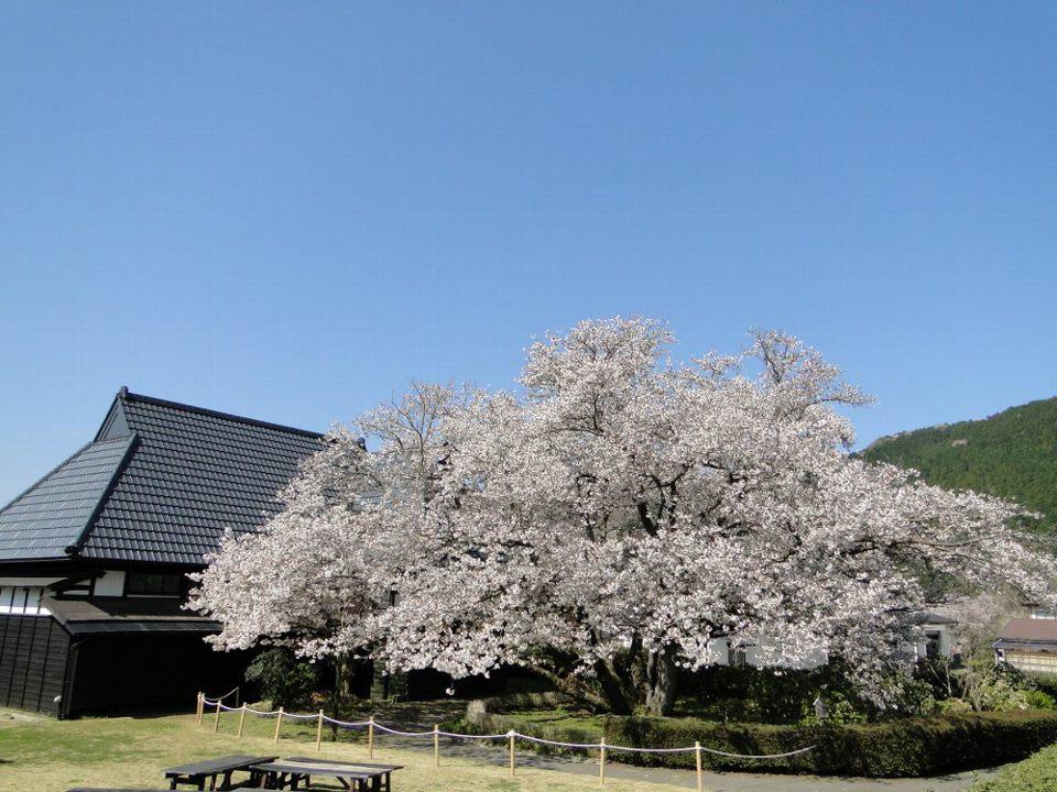 Tomoezakura1